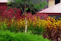 Mass planting of kangaroo paws