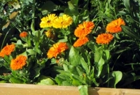 Edible & medicinal calendula flowers