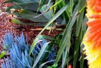 Kniphofia, agave, senechio species