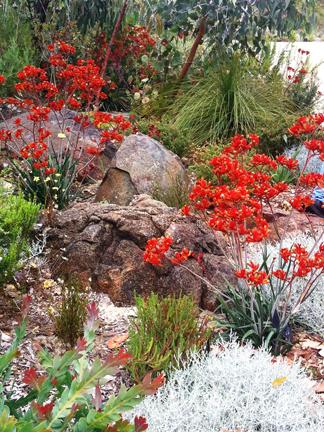 Stunning kangaroo paws wild about gardens garden for Garden design perth