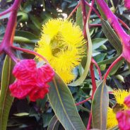 Red Capped Flowering Gum shows off in summer