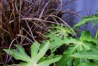 Paw paw & purple fountain grass