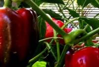 Red capsicums