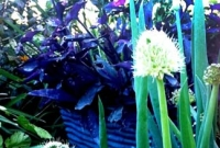 Spring onions flowering