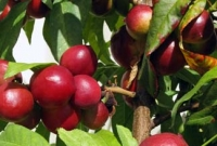 \'Sunwright\' nectarine cropping heavily