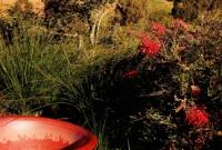 Grevillea in hills garden