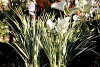 Silver foliage & kangaroo paw